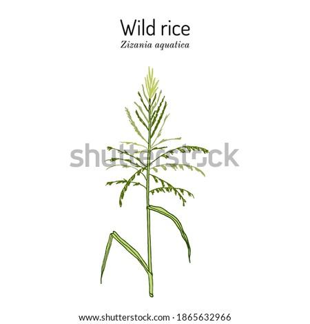 Wild rice (Zizania aquatica), state grain of Minnesota. Hand drawn botanical vector illustration