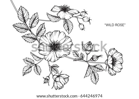 Wild rose flowers drawing and sketch with line-art on white backgrounds. #644246974