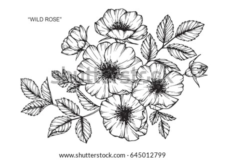 Wild rose flowers drawing and sketch with line-art on white backgrounds. #645012799