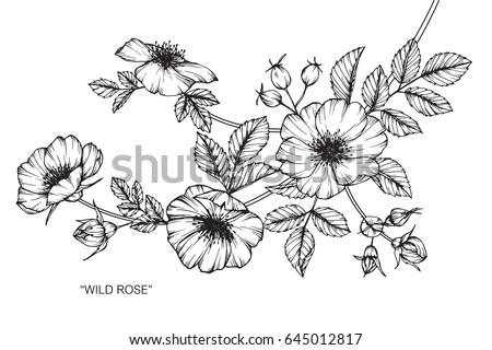 Wild rose flowers drawing and sketch with line-art on white backgrounds. #645012817