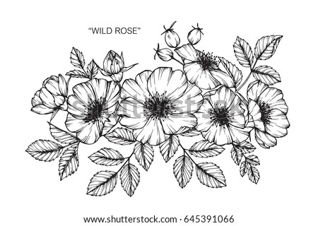 Wild rose flowers drawing and sketch with line-art on white backgrounds. #645391066