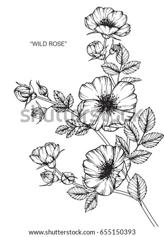 Wild rose flowers drawing and sketch with line-art on white backgrounds. #655150393