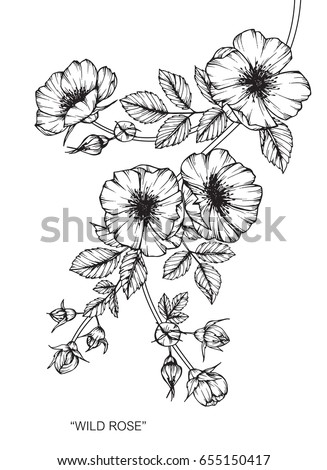 Wild rose flowers drawing and sketch with line-art on white backgrounds. #655150417