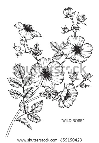 Wild rose flowers drawing and sketch with line-art on white backgrounds. #655150423