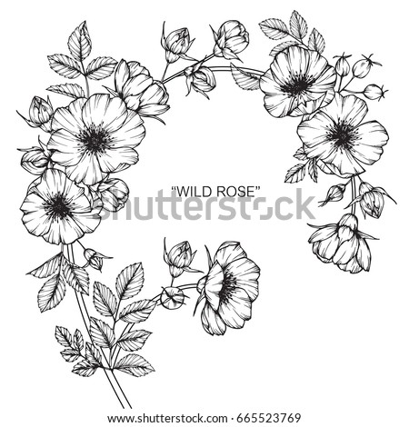 Wild rose flowers drawing and sketch with line-art on white backgrounds.  #665523769