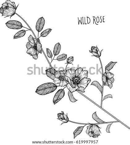 Wild rose flowers drawing illustration vector and clip-art. #619997957