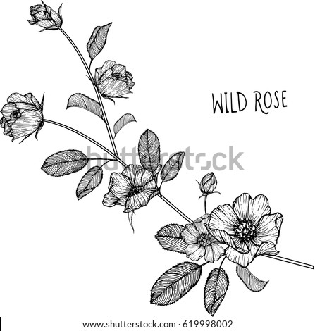 stock-vector-wild-rose-flowers-drawing-illustration-vector-and-clip-art