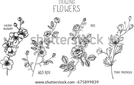 Wild rose, Rose, Magnolia, cherry blossom flowers drawing illustration vector and clip-art.