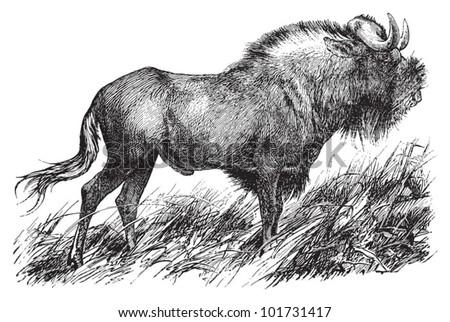 wildebeest or gnu   vintage