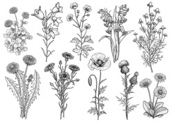 Wildflower,  bluebell, bellflower, buttercup, chamomile, clower, cornflower, dandelion, daisy, poppy, thistle collection illustration, drawing, engraving, ink, line art, vector