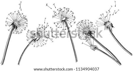 wildflower dandelion  in a