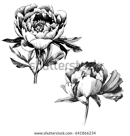 Wildflower peony flower. Hand drawn botanical art isolated on white background. Floral illustration. flowers drawing vector illustration and line art.