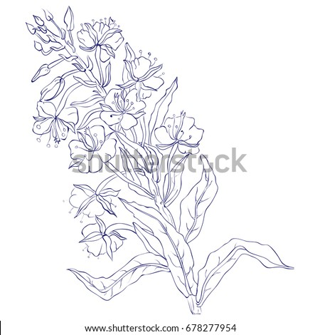 Willow, Chamerion angustifolium, fireweed, great willow-herb, rosebay hand drawn vintage ink sketch vector botanical illustration. Health and Nature set of medical plants for design package tea