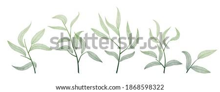 Willow leaves  on white. Leaf veins.  Vector illustration. EPS 10. Stock fotó ©