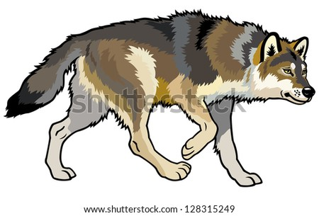 wolf,canis lupus,wild animal of eurasia,side view picture isolated on white background
