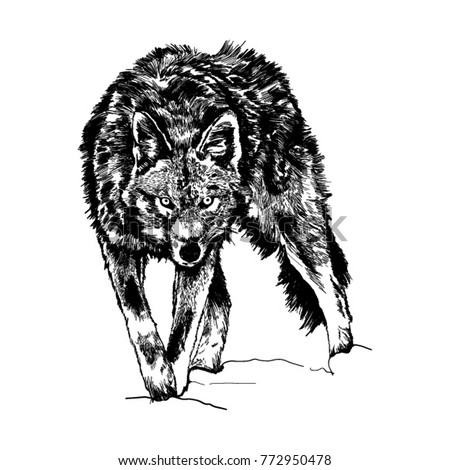wolf in wild life vector