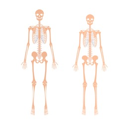 Woman and man skeleton anatomy in front view. Vector isolated flat illustration of human skull and bones. Halloween, medical, educational or science banner.