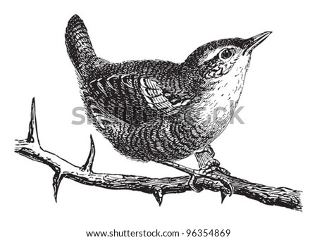 Wren (Troglodytes parvulus) / vintage illustration from Meyers Konversations-Lexikon 1897