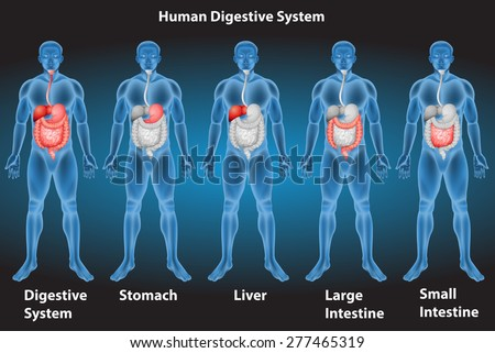 Xrays of human digestive system
