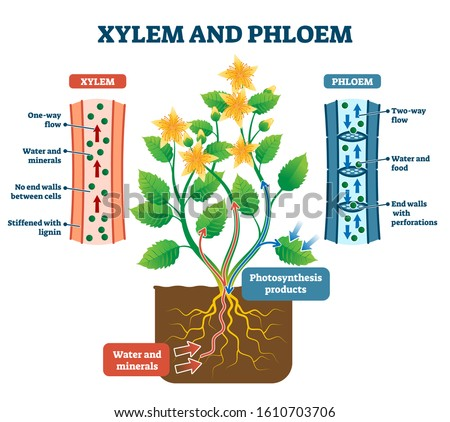 Xylem and phloem vector illustration. Labeled water, nutrient and mineral transportation scheme. Educational graphic with biological translocation process explanation. Living tissue in vascular plants