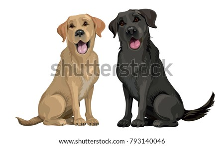 Stock Photo Yellow and black labrador retriever sitting isolated on white.  Young and friendly dogs.