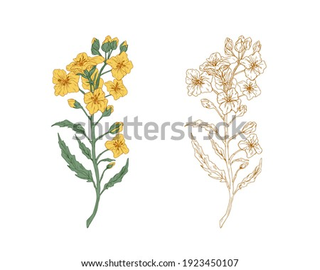 yellow canola flowers and