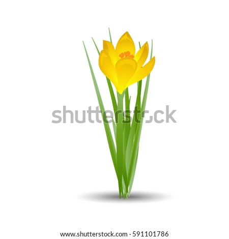 yellow crocus blooming flowers