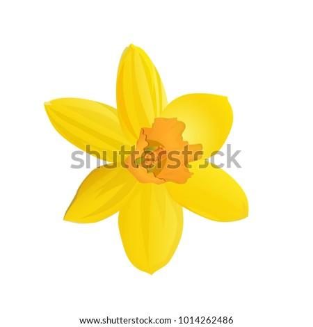 yellow daffodil. flower. vector ...
