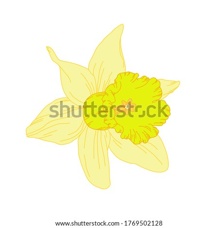 yellow daffodil isolated on