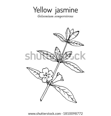 yellow jessamine  carolina