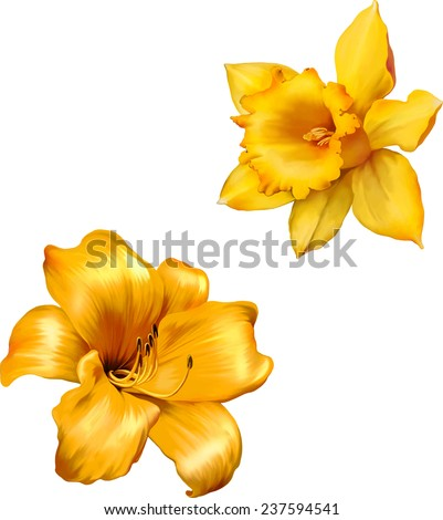 yellow lily daffodil flower or