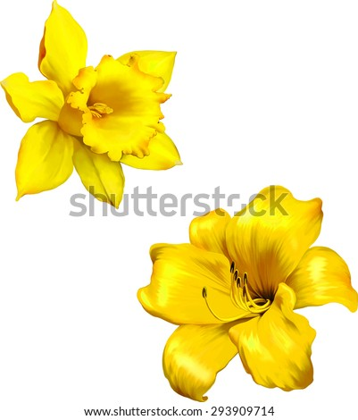 yellow lily. daffodil flower or ...