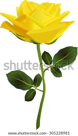 yellow rose on a white