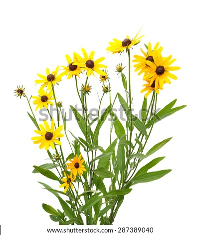 yellow rudbeckia on white background, vector