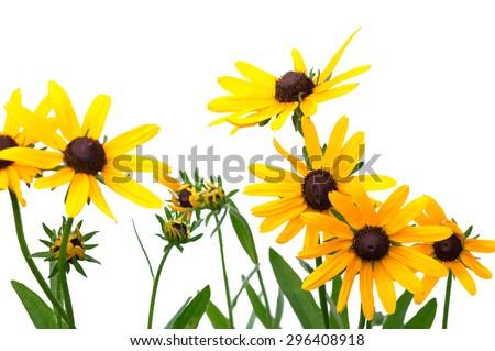 yellow rudbeckia on white