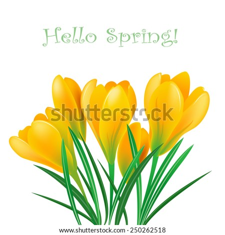 yellow spring crocuses on the