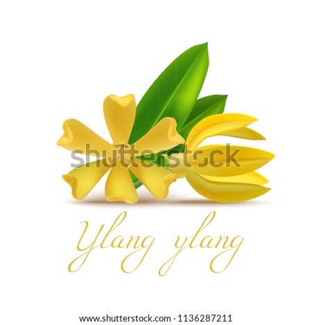 Ylang Ylang Flower and Leaf in Realistic Style. Realistic Elements for Labels of Cosmetic Skin Care Product Design. Vector Isolated Illustration