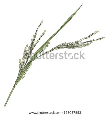 young jasmine rice