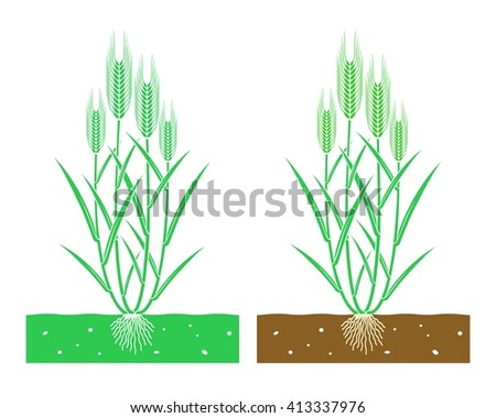 young wheat plant with leaves