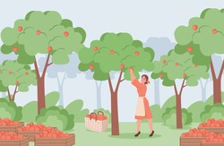 Young woman in red dress and white apron picking red ripe apples from apple trees vector flat illustration. Apple garden with trees and boxes with apple, summer harvest concept.