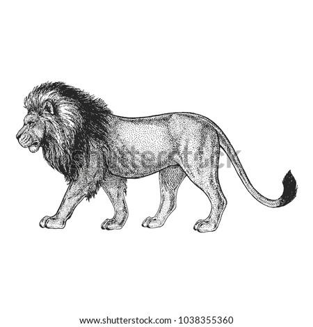 zoo african fauna lion  wild