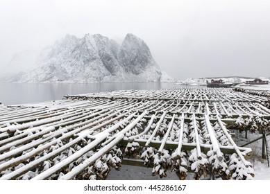 Stockfish (cod) drying during winter time on  Lofoten Islands, Norway.