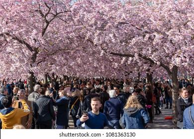 Stockholm May 1:st 2018, Cherry blossom in Kungsträdgården