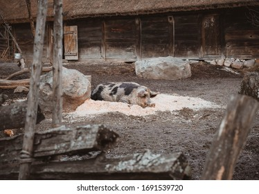 Stockholm, Sweden - 19 February 2020; Pig is resting outdoors at farm. Piggy farm with barn and boar on the front.