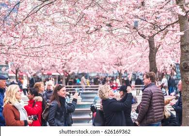 STOCKHOLM, SWEDEN - APRIL 22, 2017: People enjoying and photographing the pink japanese cherry blossom during springtime in Kungstradgarden.