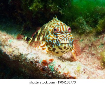 Stocky hawkfish (Cirrhitus pinnulatus), Underwater photography , Fishes of Flower Garden Banks