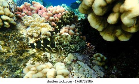 Stocky hawkfish or whitespotted hawkfish or large hawkfish (Cirrhitus pinnulatus) undersea, Red Sea, Egypt, Sharm El Sheikh, Nabq Bay