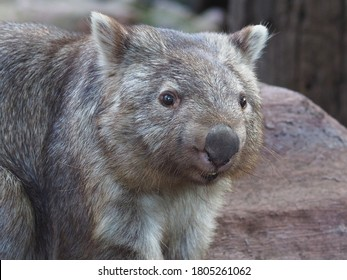 Stocky Robust Powerful Common Wombat in a Cheerful Happy Pose.