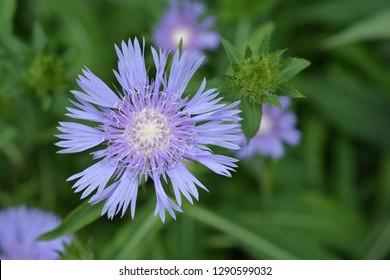Stokes aster - Latin name - Stokesia laevis