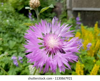 Stokesia Laevis Stokes Aster - Pink, purple flower, plant. Macro, close-up photos.